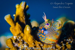 Blenny Mandarin, Plataforma Tiburon Mexico by Alejandro Topete 